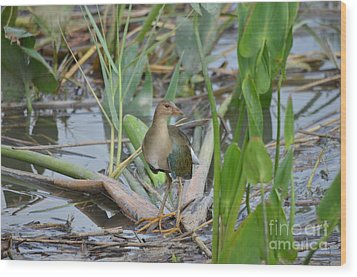Young Purple Gallinule Wood Print by Kathy Gibbons