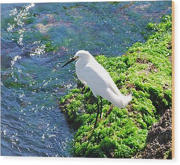 Young Snowy Egret Wood Print
