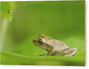 Young Spring Peeper Pseudacris Crucifer Wood Print by Steeve Marcoux