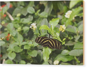 Wood Print featuring the photograph Zebra Butterfly by Marianne Campolongo