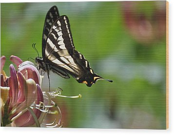 Wood Print featuring the photograph Zebra Swallowtail Sipping Honeysuckle by Ronda Broatch