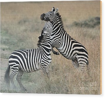 Zebras Fighting Wood Print by Alan Clifford