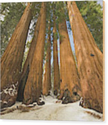 Giant Sequoias Sequoia N P Wood Print by Yva Momatiuk John Eastcott