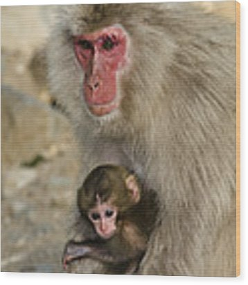 Snow Monkeys, Japan Wood Print