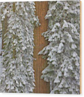 Giant Sequoias And Snow  Wood Print by Yva Momatiuk John Eastcott