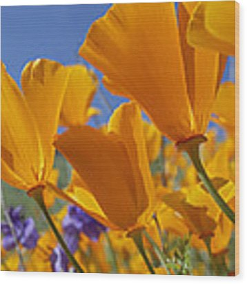 California Poppy Eschscholzia Wood Print by Tim Fitzharris