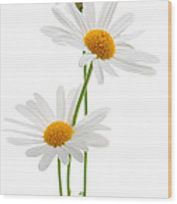 Daisies On White Background Wood Print