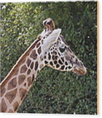 Giraffe 01 Wood Print by Paul Gulliver