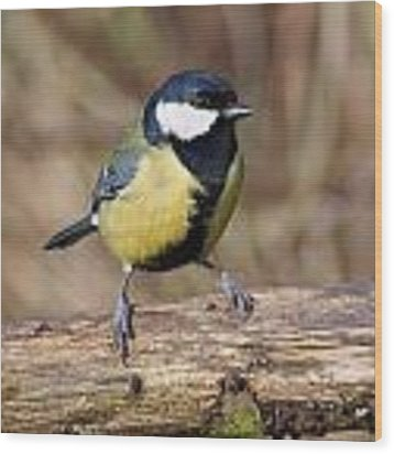 Great Tit On A Log Wood Print by Paul Gulliver
