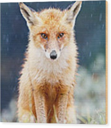I Can't Stand The Rain  Fox In A Rain Shower Wood Print