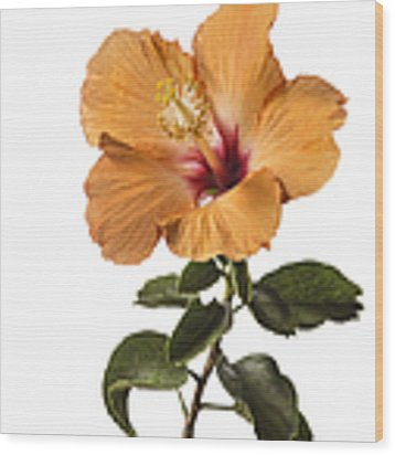 Peach Hibiscus Wood Print by Endre Balogh