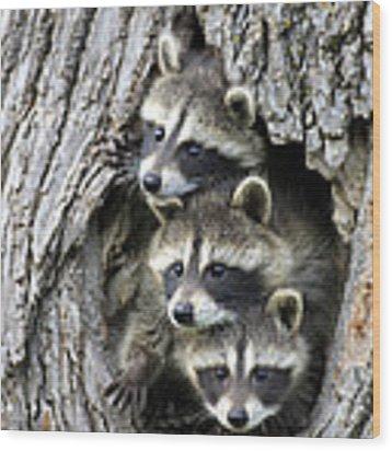 Raccoon Trio At Den Minnesota Wood Print by Jurgen and Christine Sohns