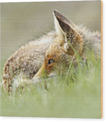 The Catcher In The Grass II   Red Fox Wood Print by Roeselien Raimond