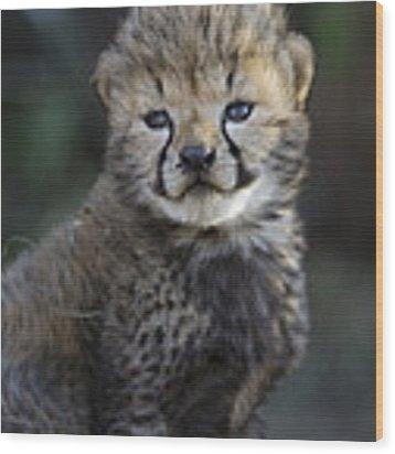 Very Young Cheetah Cub Maasai Mara Wood Print by Suzi Eszterhas