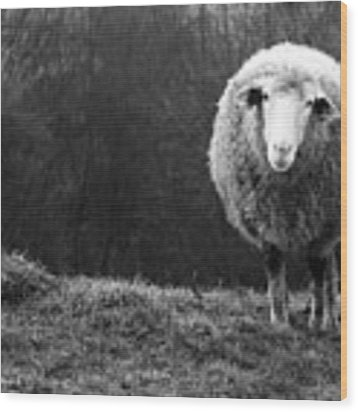 Wondering Sheep Wood Print by Ajven