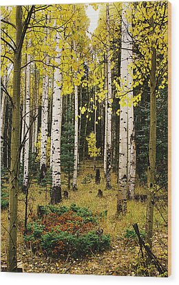 Aspen Grove In Upper Red River Valley Wood Print