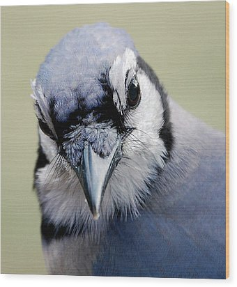 Blue Jay Wood Print by Skip Willits