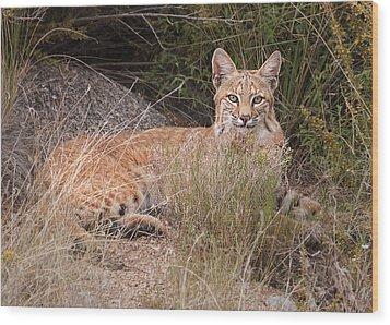 Bobcat At Rest Wood Print by Alan Toepfer