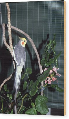 Cockatiel Named Pete Wood Print