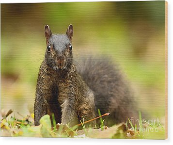 Curious Black Squirrel Wood Print by Mircea Costina Photography