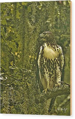 Red-tail Posing Wood Print by Phill Doherty
