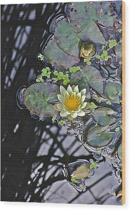 September White Water Lily Wood Print
