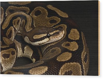 A Ball Python Python Regius Wood Print by Joel Sartore