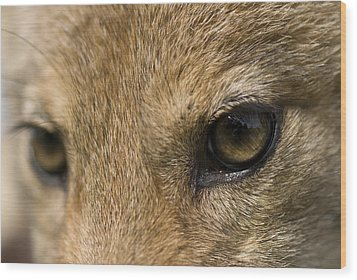 A Coyote At A Wildlife Rescue Members Wood Print by Joel Sartore