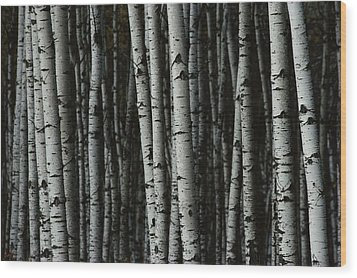 A Forest Of White Birch Trees Betula Wood Print by Medford Taylor