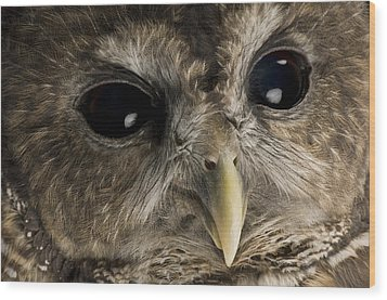 A Threatened Northern Spotted Owl Wood Print by Joel Sartore