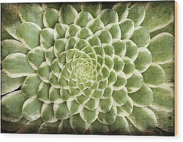 Wood Print featuring the photograph Aeonium Succulent  by Catherine Lau