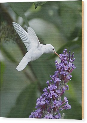 Albino Ruby-throated Hummingbird Wood Print by Kevin Shank Family