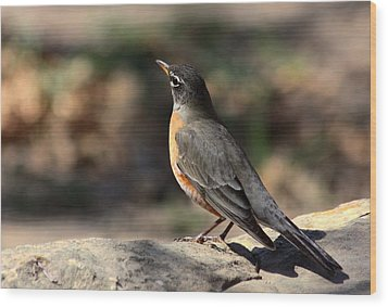 American Robin On Rock Wood Print by Sheila Brown