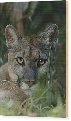 An Alleged Florida Panther. Owner Frank Wood Print by Michael Nichols