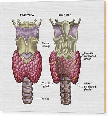 Anatomy Of Thyroid Gland With Larynx & Wood Print by Stocktrek Images