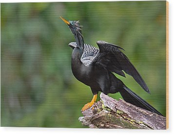 Anhinga Anhinga Anhinga Perching Wood Print by Panoramic Images
