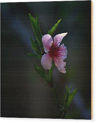 Apple Blossom Wood Print by Martin Morehead