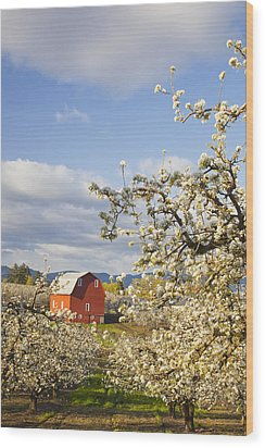 Apple Blossom Trees And A Red Barn In Wood Print by Craig Tuttle