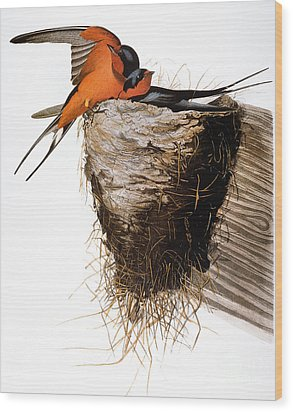 Audubon: Swallow Wood Print by Granger