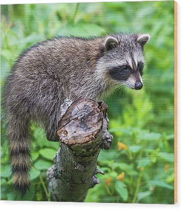 Wood Print featuring the photograph Baby Racoon by Paul Freidlund