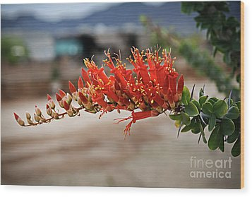 Wood Print featuring the photograph Beautiful Ocotillo by Robert Bales