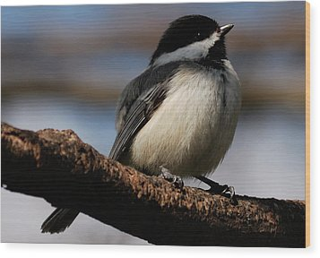 Black-capped Chickadee Wood Print by Randy Bodkins