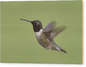 Black-chinned Hummingbird Wood Print by Doug Herr