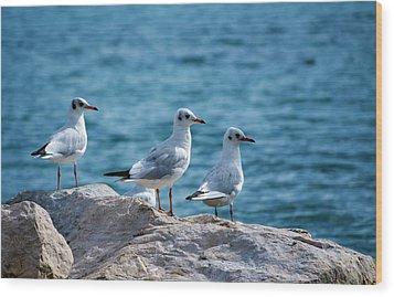 Black-headed Gulls, Chroicocephalus Ridibundus Wood Print by Elenarts - Elena Duvernay photo