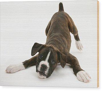 Brindle Boxer Pup Wood Print by Jane Burton