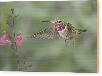 Broadtail Hummingbird And Salvia Wood Print by Gregory Scott