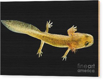 California Giant Salamander Larva Wood Print by Dant� Fenolio
