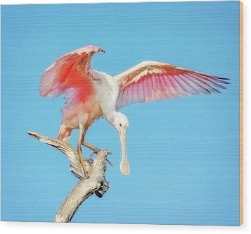 Spoonbill Cleared For Takeoff Wood Print