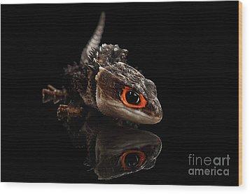 Closeup Red-eyed Crocodile Skink, Tribolonotus Gracilis, Isolated On Black Background Wood Print by Sergey Taran