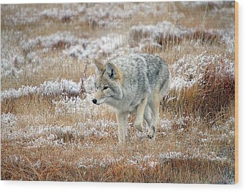 Coyote  In Yellowstone National Park Wood Print by Pierre Leclerc Photography